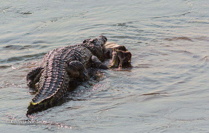 Croc-and-wild-dogs