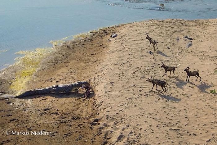 Croc-and-wild-dogs3