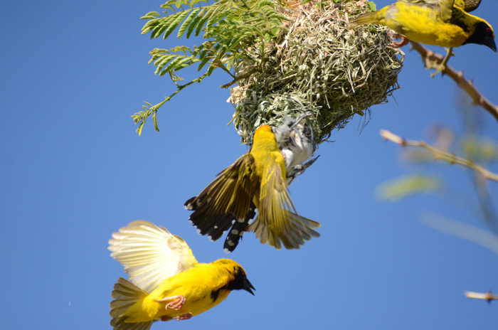 Diederick-cuckoo-Weaver