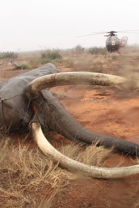Elephant-Tsavo-David-Sheldrick