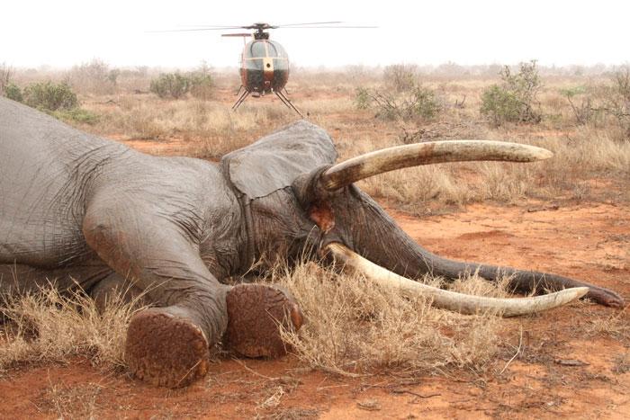 Elephant-bull-Tsavo-David-Sheldrick