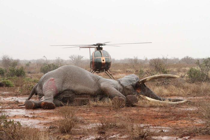 Elephant-bull_Tsavo_helicopter