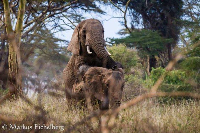 Elephants-mating-Markus-Eichelberg