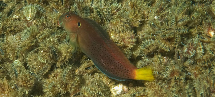 On the vertebrate side, a new species of fish of the Blenny family, the Cirripectes heemstraorum (Yellowtail blenny) was discovered on the sunken DAR barges off Cape Vidal in January 2010 by diver Dennis King and officially described later the same year, as well as new distribution records for the Tiger angelfish and Apolemitchthys kingi, seen by Mike Fraser and Dennis King, after whom the latter has been named.