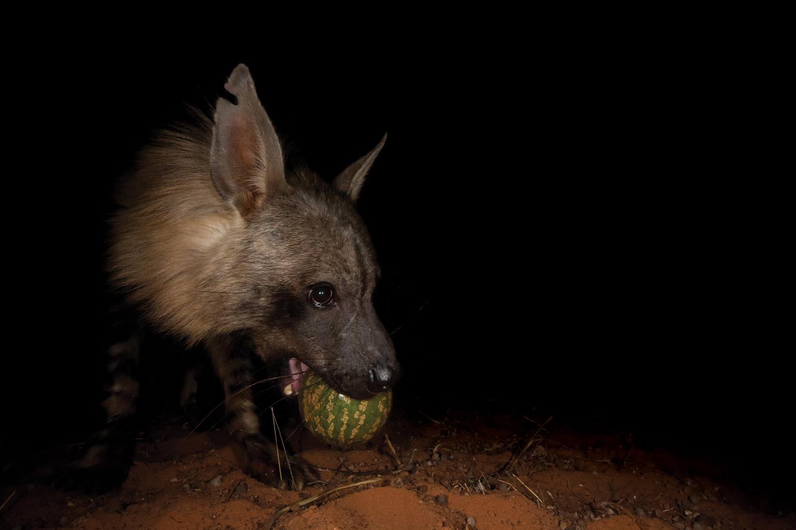 Hannes-Lochner-Kalahari-brown-hyena-apple