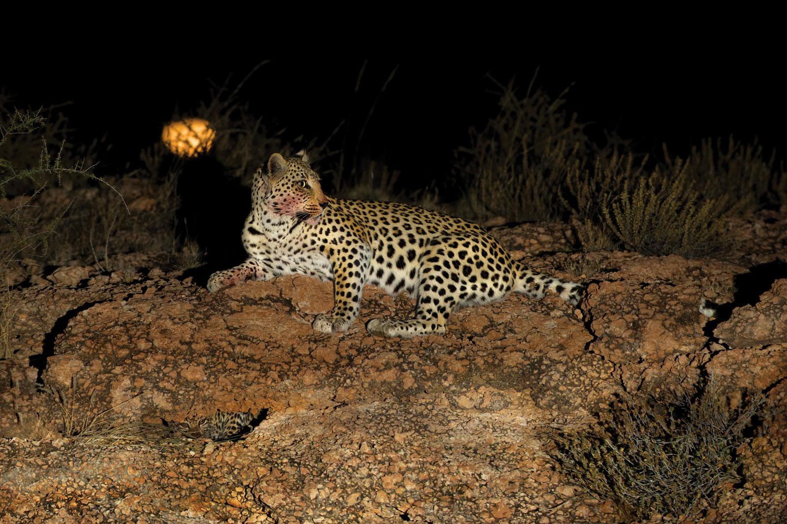 Hannes-Lochner-Kalahari-leopard-and-cub