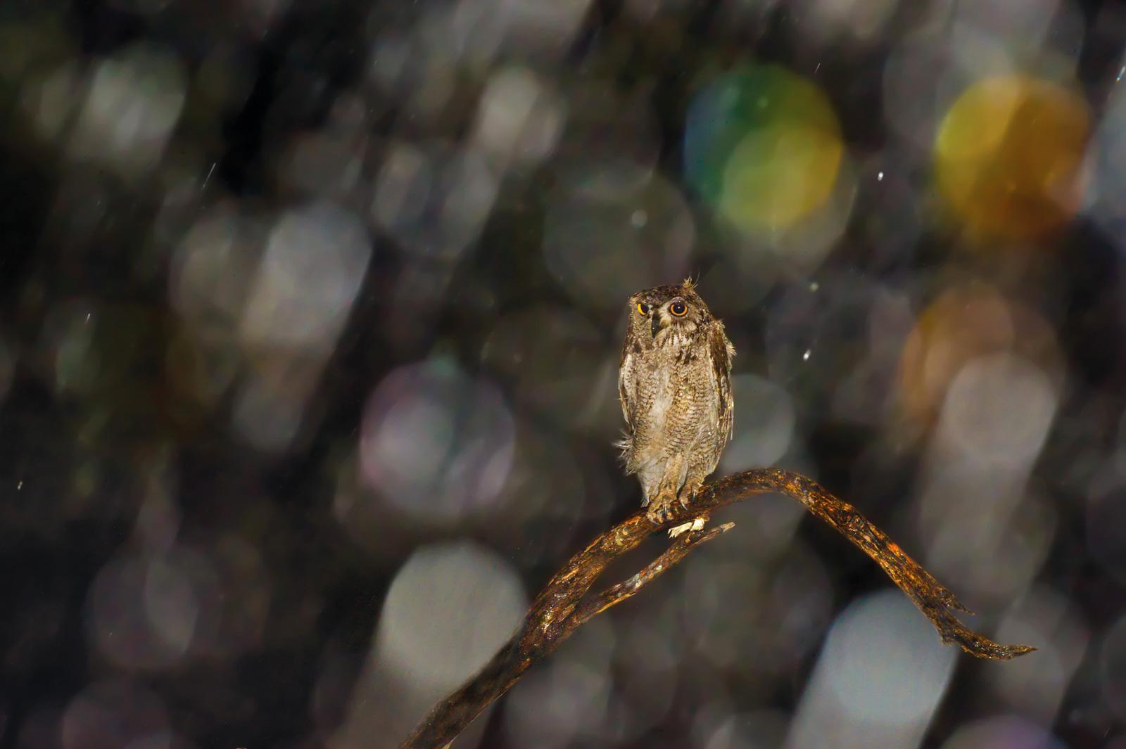 Hannes-Lochner-Kalahari-spotted-eagle-owl