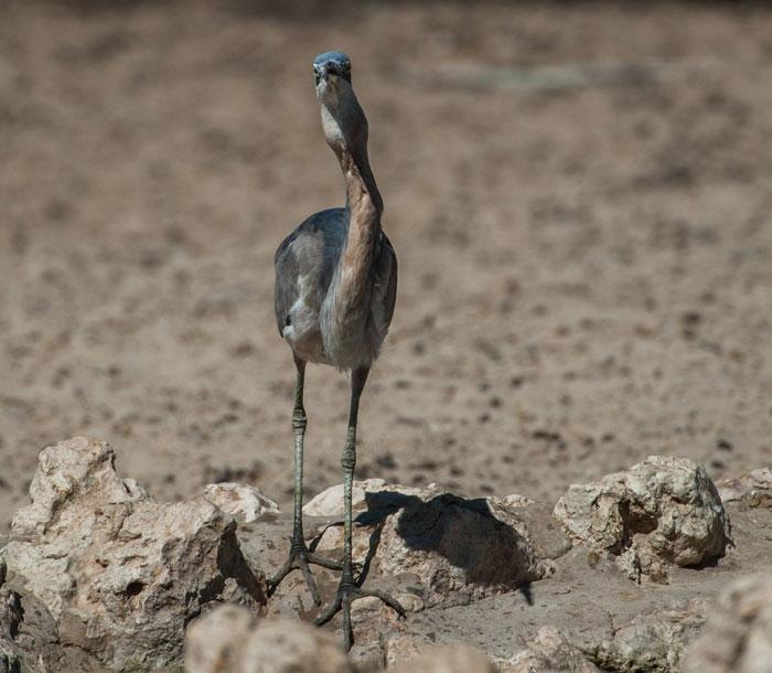 Heron-finches-kgalagadi-transfrontier-park
