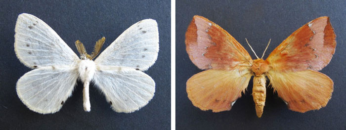 Stenoglene perissinottoi (left) and Stenoglene clucki (right), both belonging to the moth family Eupterotidae (commonly known as monkey moths because of their generally hairy bodies), have recently been described by Belgian entomologist Thierry Bouyer using material collected by Renzo Perissinotto in the Futululu and False Bay areas of the iSimangaliso Wetland Park.