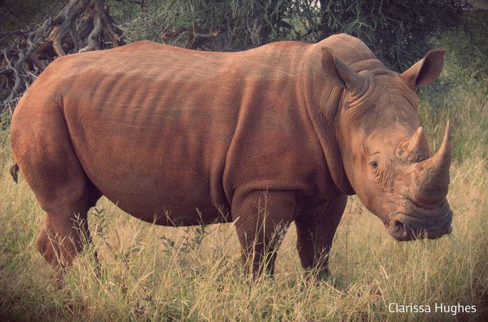 Rhino-Africa-Geographic