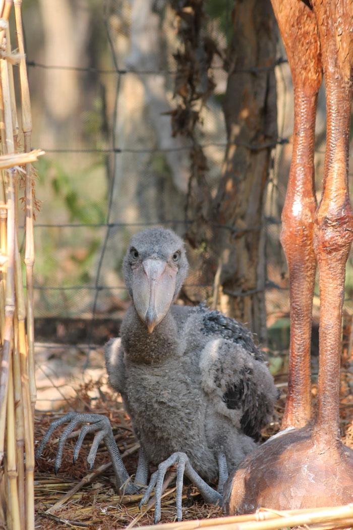 The Story Of Seymour The Shoebill Africa Geographic