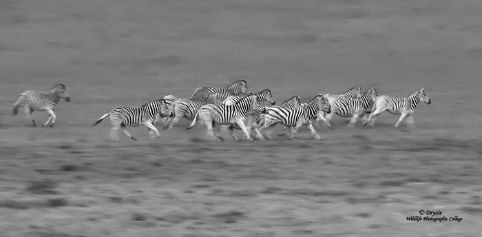 Zebra-motion-blur-group
