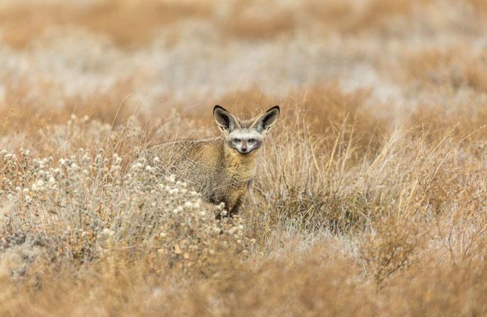 bat-eared-fox