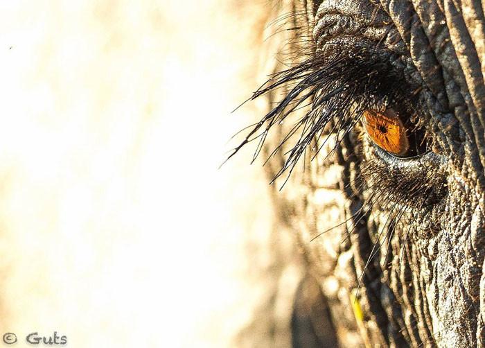 chobe-elephant