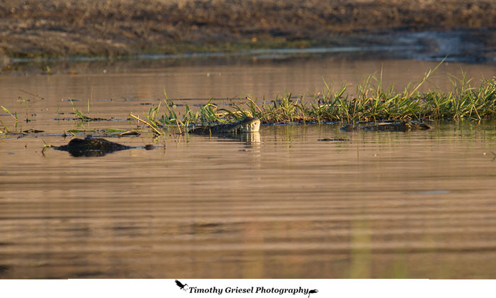 crocodile-mating