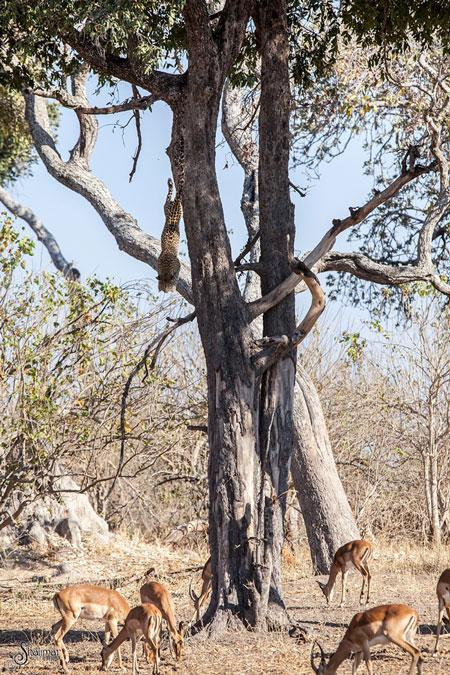 dive-bomb-leopard