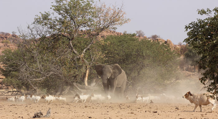 The elephant is disturbed by goats running past it to the water trough.