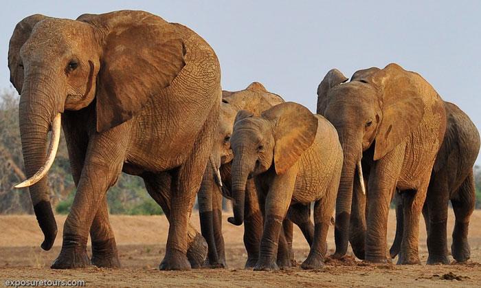 Elephant Herd Tours And Safaris