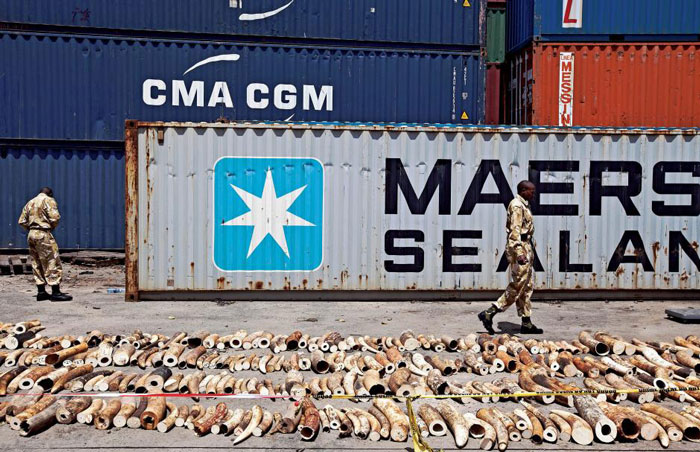 Kenya Wildlife Service (KWS) Rangers walk past a confiscated ivory consignment at the Mombasa Port on Oct. 8, 2013. Ivan Lieman/AFP/Getty