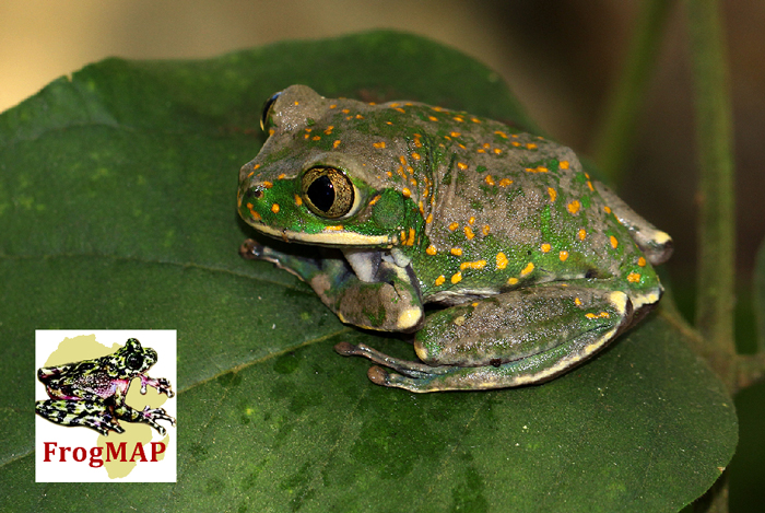 Yellow-spotted Tree Frog (Leptopelis flavomaculatus), © Bart Wursten