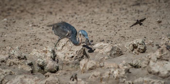 grey-heron-finch-waterhole