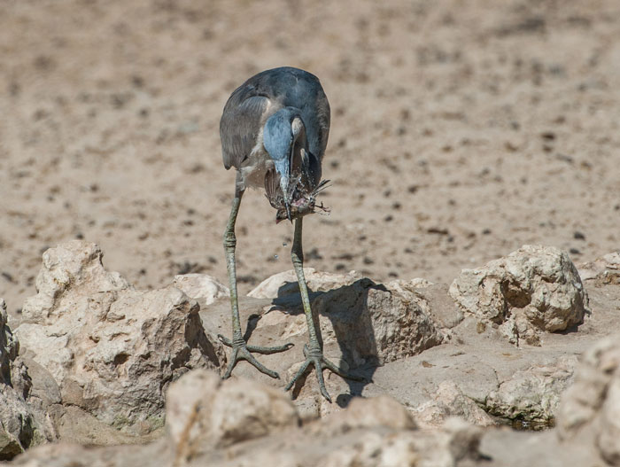 grey-heron-finch