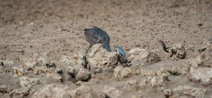 heron-finch-Africa-photography