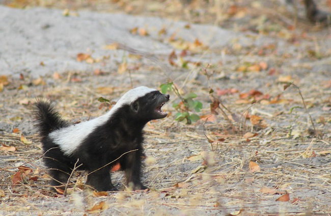 Crazy baby honey badger at Camp Linyanti - Africa Geographic