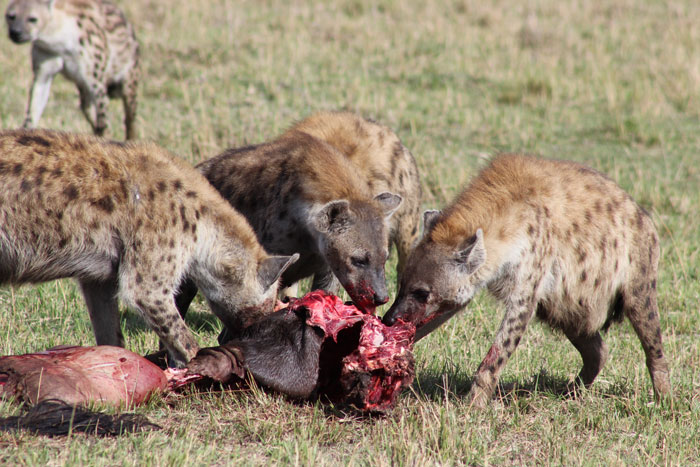 hyenas-feeding