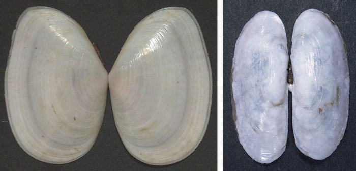 Subsequently, collaborative work with bivalve mollusk specialist Markus Huber of Zurich University led to the description of two new species of bivalves, named Tellinides kilburni and Siliqua herberti, which is currently being prepared for publication in a major monograph on the bivalves of the world. Although the two species occur throughout the eastern part of southern Africa, it was the specimens and the work from iSimangaliso that led to their recognition as new species, separate from those with which they had been confused previously.