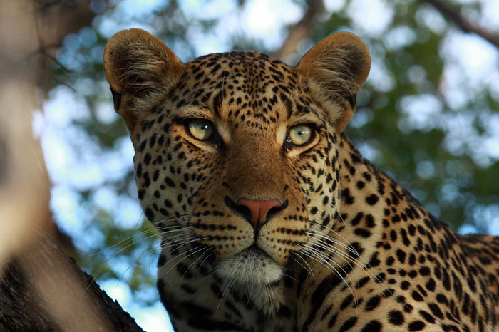the leopards of the timbavati africa geographic
