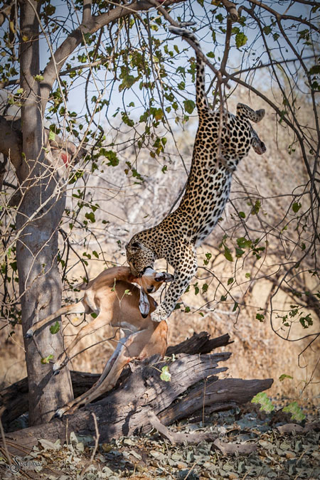 leopard-jumps-from-tree-to-make-kill
