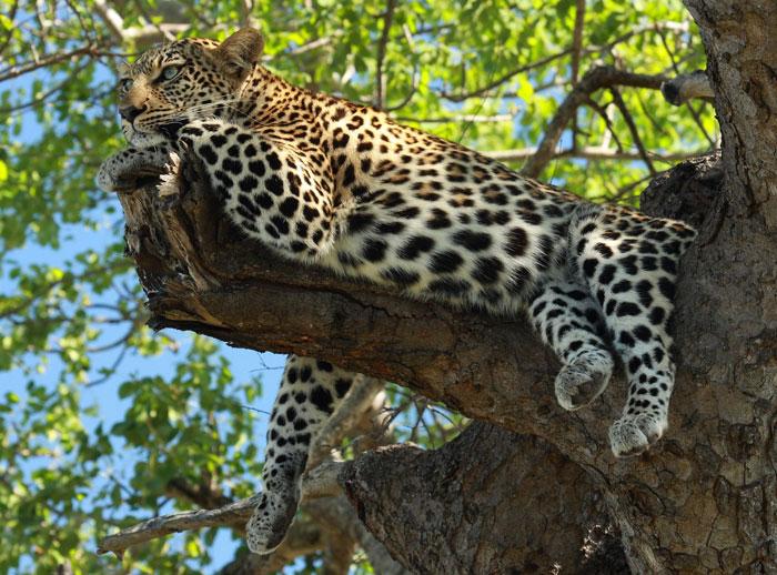 leopard-relaxing