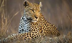 leopard-timbavati