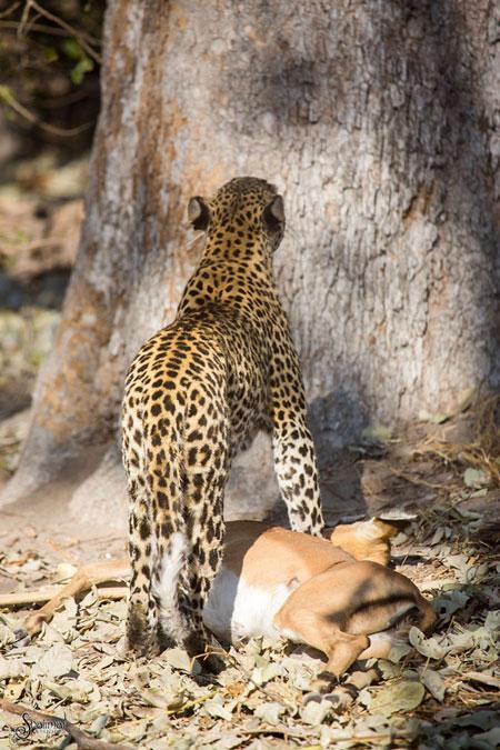 leopard-with-kill-botswana