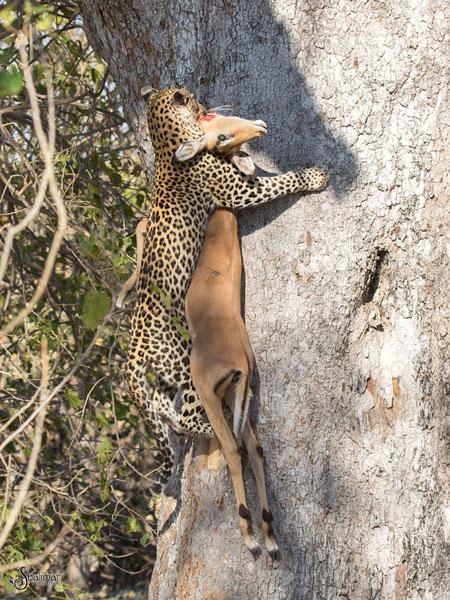 leopard-with-kill-climbing-tree