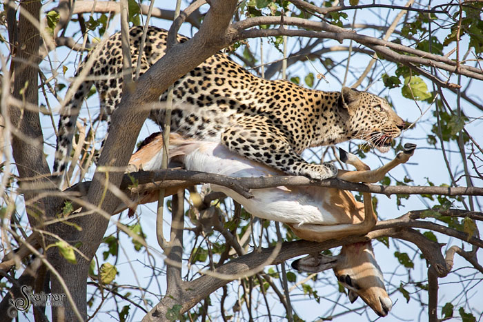 leopard-with-kill-climbs-tree