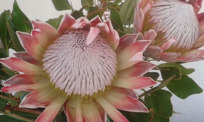protea-South-Africa-national-plant
