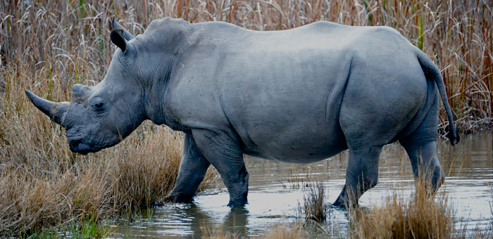 rhino-march