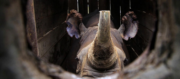 An endangered black male rhinoceros with its horn partially cut-off stands in a cage after a radio transmitter was implanted in its horn before translocation at the Lake Nakuru National park in Kenya's Rift Valley, 160km (99 miles) west of the capital Nairobi, October 12, 2010. After implanting radio transmitters into the horns to track the animals, and notching their ears, KWS is translocating 10 black rhinos to the Tsavo National Park, southeast of Nairobi, to re-establish the population. Thomas Mukoya/Reuters