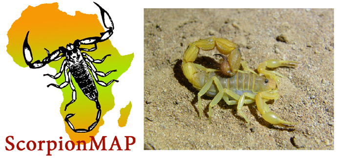 Cape thick-tailed scorpion (Parabuthus capensis) © Paul Bester