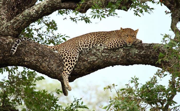 sleeping-leopard