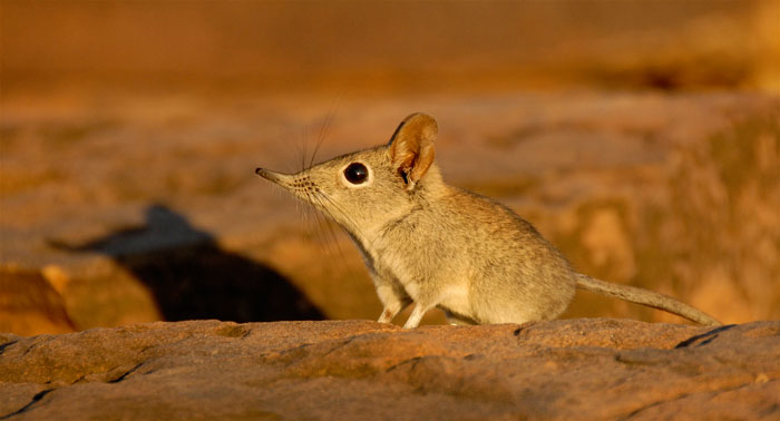 Image result for elephant shrew