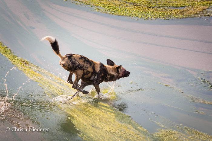 wild-dog-running