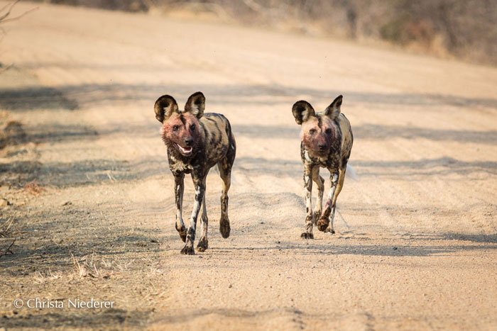 wild-dogs-on-road