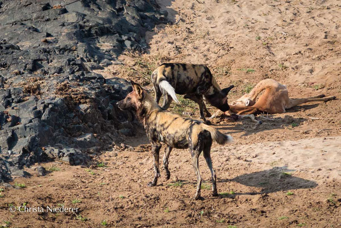 wild-dogs-with-kill