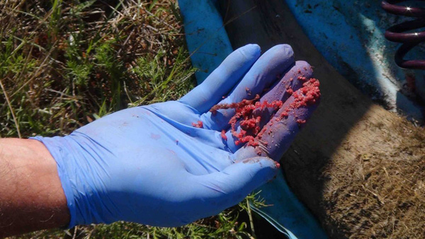 The horn material inside a treated horn is a bright pink colour. © The Rhino Rescue Project
