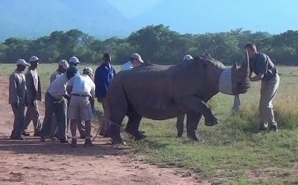 When the animal is sedated, its ears are plugged and eyes covered to reduce stress. © The Rhino Rescue Project