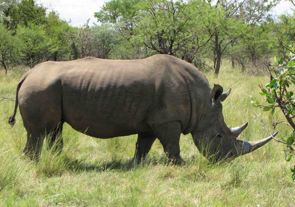 Rhino after the procedure. © The Rhino Rescue Project