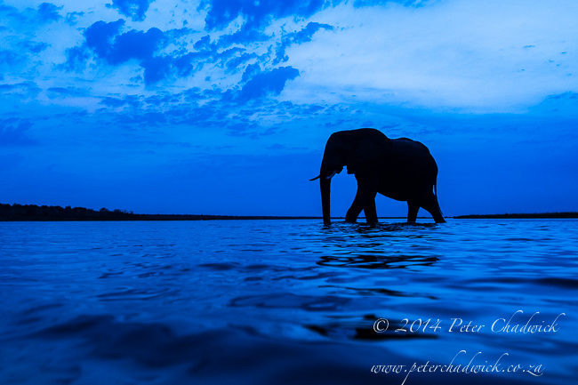 An African elephant bull crossing the Chobe river at dusk © Peter Chadwick